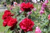 Казанлъшки рози
